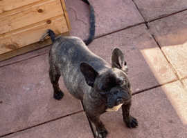 TOP Quality Kc French bulldog puppies
