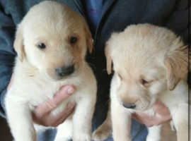 2 beautiful pups for sale