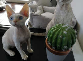 Devon Rex The Only loved one