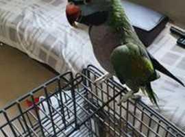 Derbyan Parakeet for Sale
