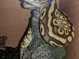 Pastave Royal Python