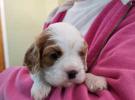 Pure Cavalier King Charles Spaniel puppies from HEALTH TESTED PARENTS.
