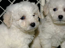 Bill and Ben the Bichons