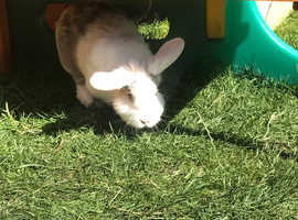 Rabbit looking for a good home
