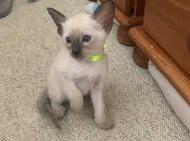 4 Beautiful Siamese kittens for sale