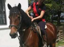 Gorgeous Bay Cob X Appaloosa 15.2hh project 5 yr old mare