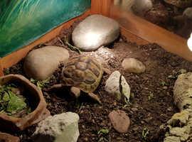 Hermann's Tortoise, setup and extras