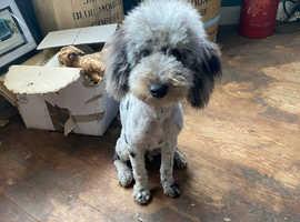 Toy/ minature poodle blue Merle boy 7 months