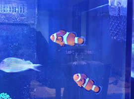 Mated pair clown fish