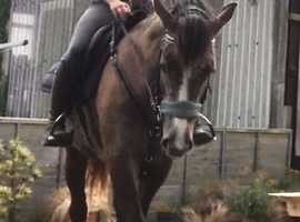 LAST CHANCE TO BUY -- BEAUTIFUL STRAWBERRY ROAN MARE
