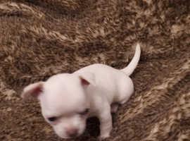 Female Chihuahua puppie.