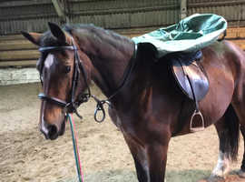 Quality bred  section D broodmare for sale