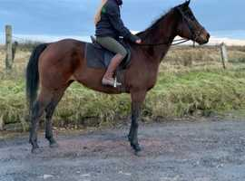 Tb mare 15.2hh 9 years old