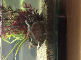 female musk turtle