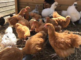 BUFF ORPINGTON GROWERS FOR SALE