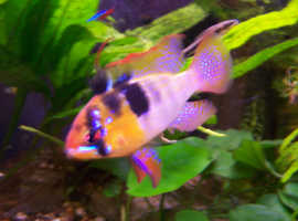 German Blue Ram Cichlids (homebred)