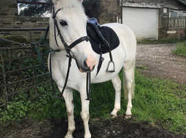 15.2 hh Gelding for Part Loan, Eldwick