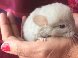 Baby chinchilla Male unusual colour pale dove grey tan friendly hand tame cute pet