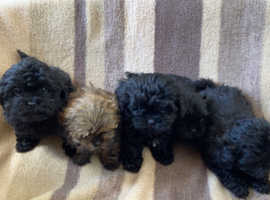 Gourgous shihpoos puppies for sale