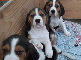 Beautiful pedigree Beagle pups for sale