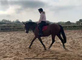 Dolly 15.2 6yo TB mare