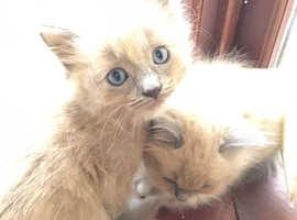 Kittens very unusual  ragamuffin kittens female