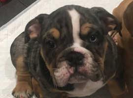 Black Merle Tri British bulldog