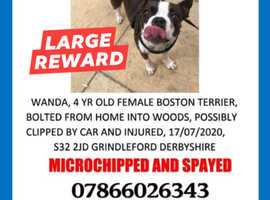 Boston terrier Wanda missing
