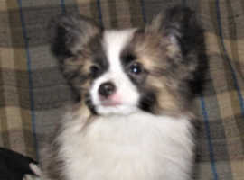 Stunning Papillon Puppies KC reg and licensed breeder