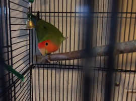 Male peached face love bird