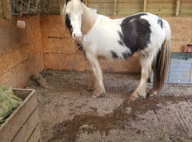 Coloured gypsy cob mare