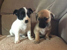 Adorable Jack Russell puppy's