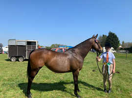 15. 2 smart Tb mare (Somerset)