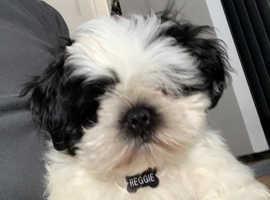 Shih Tzu Puppy Dog