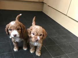 For sale F1 cockapoo puppies