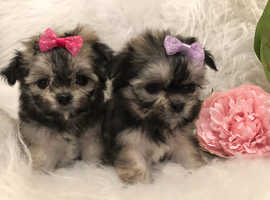 Maltchi Maltese x longhair chihuahua puppies fluffy tiny small dog cute teddy puppy adorable silver cream white boy and girl