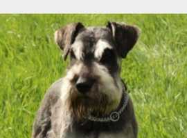 Miniature schnauzer for stud