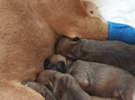 Pedigree kc registered pups carrying blue, chocolate and tan