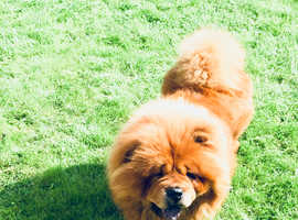 Stunning chow chow red fur adult male dog