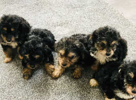 Yorkshire terrier cross poodle puppies