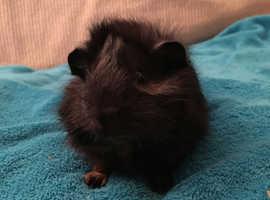 Guinea Pig - MALE