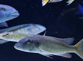 Malawi Trout Group x4 Tropical Cichlids