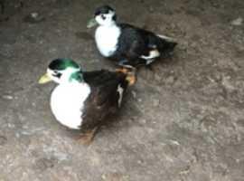 Magpie call ducks