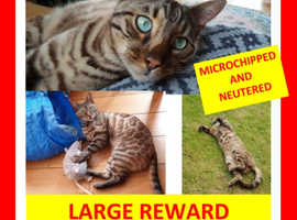 Lost Bengal cat