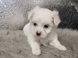 Maltipoo ( maltese x poodle)