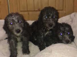 Beddlington terrier x puppies