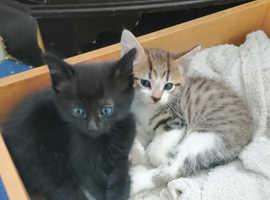 Two part ragdoll kittens