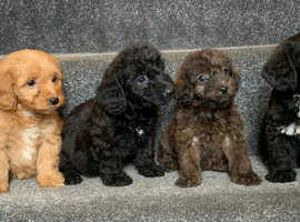 Dachshund x miniature Poodles puppy's