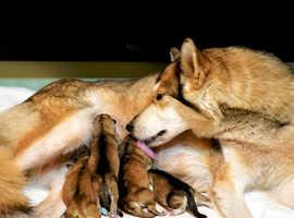 Stunning, Chunky, Fluffy, Vibrant, Healthy Northern Inuit pups! (GSD x  Siberian Husky x Alaskan Malamute) pups!