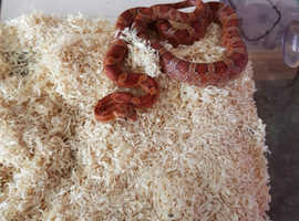 Young corn snake